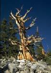 ANCIENT BRISTLECONE PINE, Wheeler Peak Bristlecone Pine Grove.